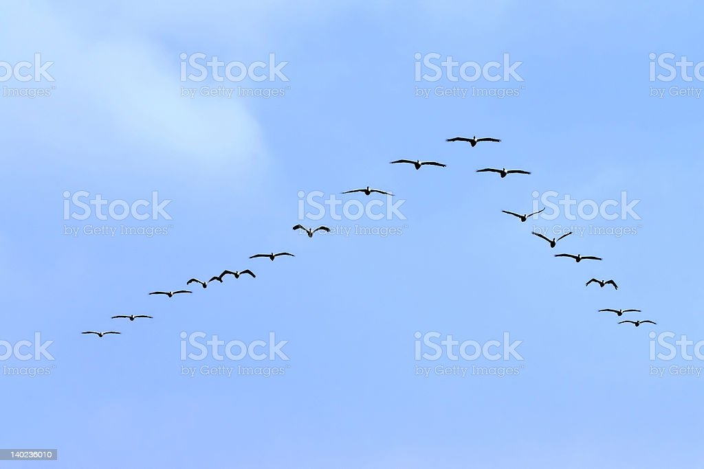 American white Pelicans flying in formation stock photo