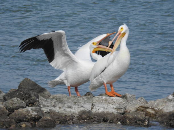 American white pelicans interacting on a rock reef stock photo