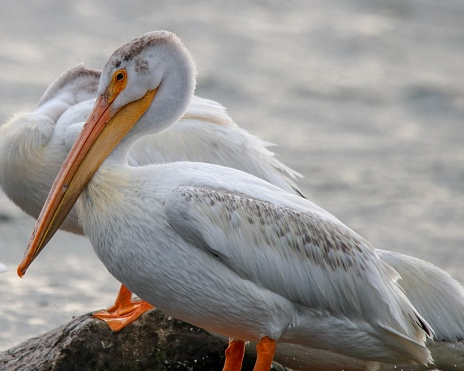 American White Pelicans on the shore of Washington Island, Wisconsin