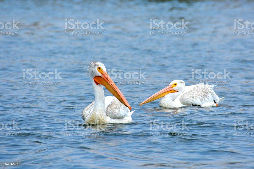 American White Pelicans stock photo