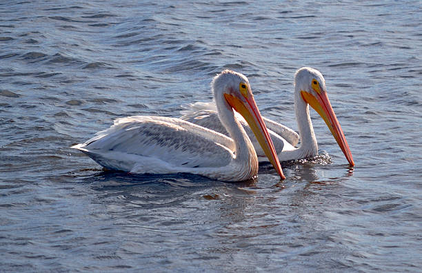 American White Pelicans American white pelicans, looking for dinner, in the evening light. neilliebert stock pictures, royalty-free photos & images