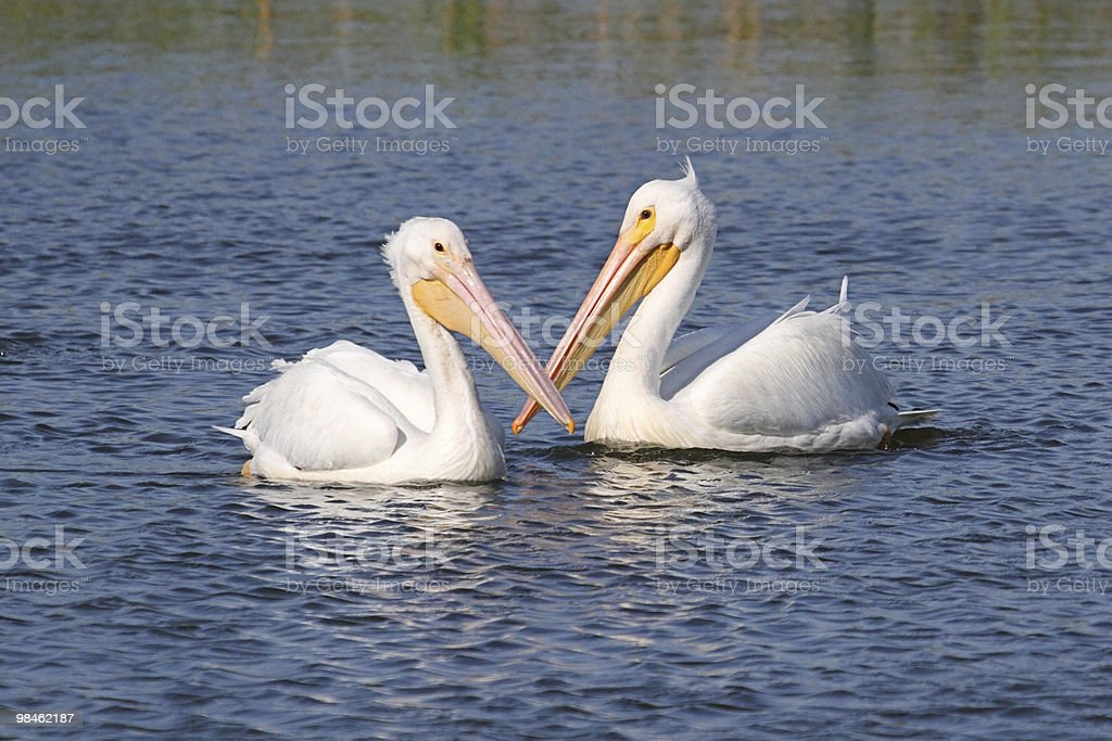 American White Pelicans royalty-free stock photo