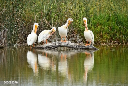 Four American white pelicans preen while standing on a log in Bear River Migratory Bird Refuge, Utah.