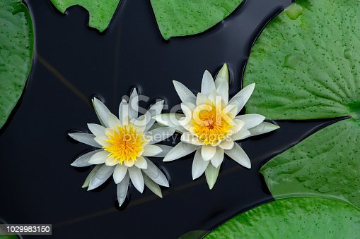 Closeup of American white water lily flowers