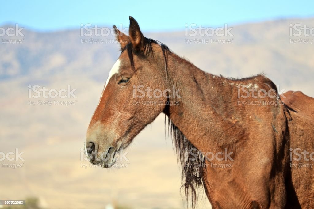 American Wild Mustang Horse Malnourished Mare Nevada Wild Horses Stock Photo Download Image Now Istock