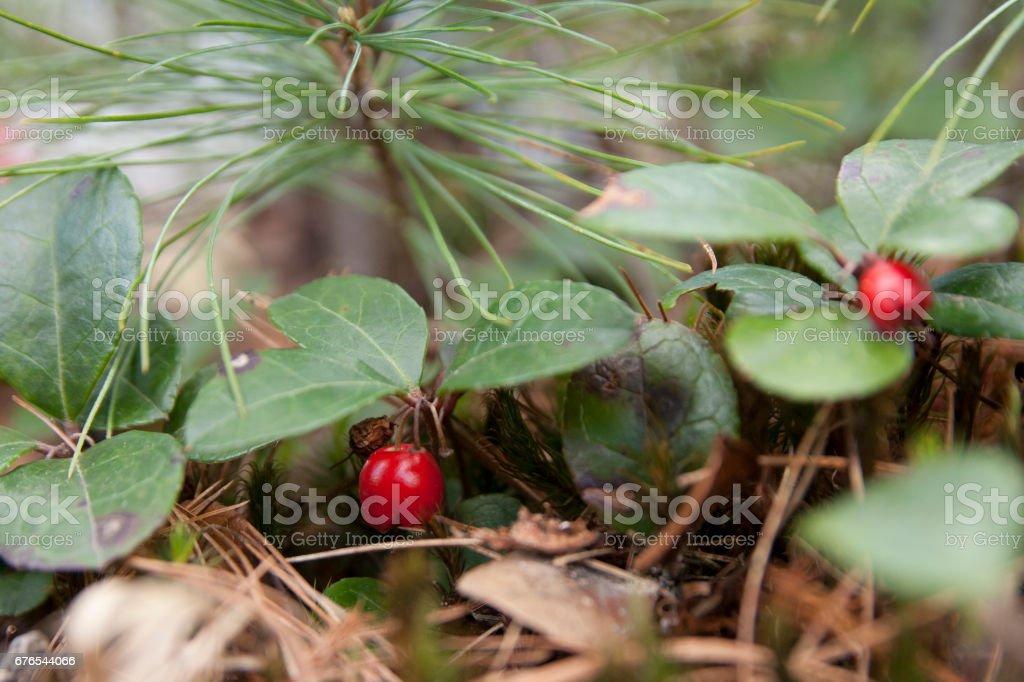 American wintergreen stock photo
