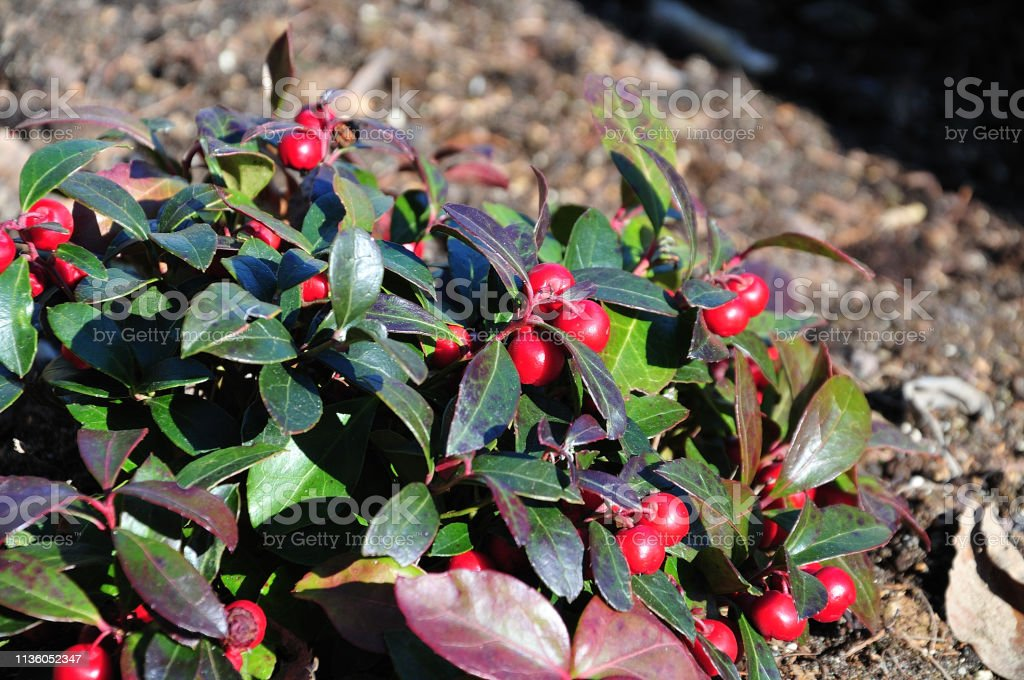 Amerikanisch wintergrün mit roten Früchten – Foto