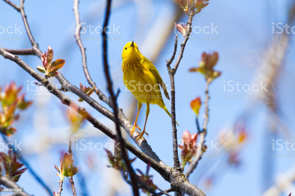American Yellow Warbler In A Tree In Springtime stock photo