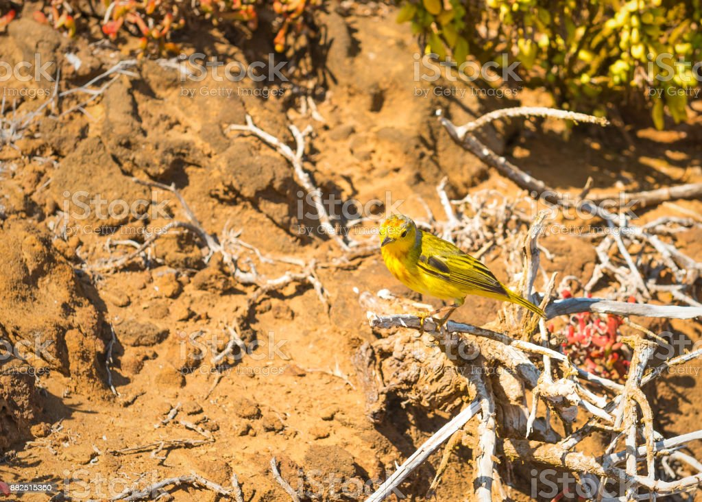 American Yellow Warbler stock photo