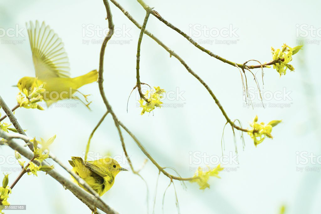 American Yellow Warblers In A Tree - Royalty-free Boom Stockfoto