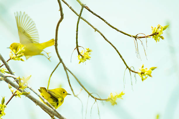 american yellow warblers in a tree - setophaga stockfoto's en -beelden