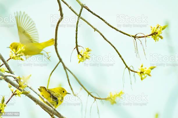 American Yellow Warblers In A Tree Stockfoto en meer beelden van Boom