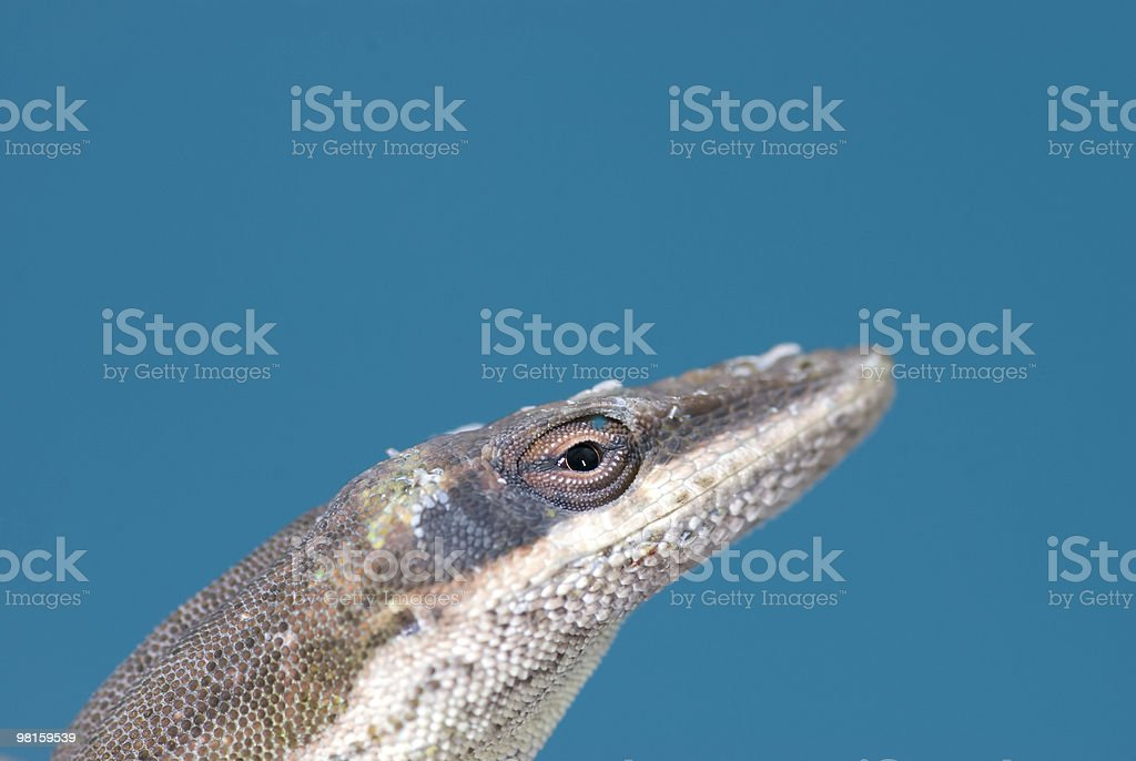American-Chameleon Green Anole royalty-free stock photo