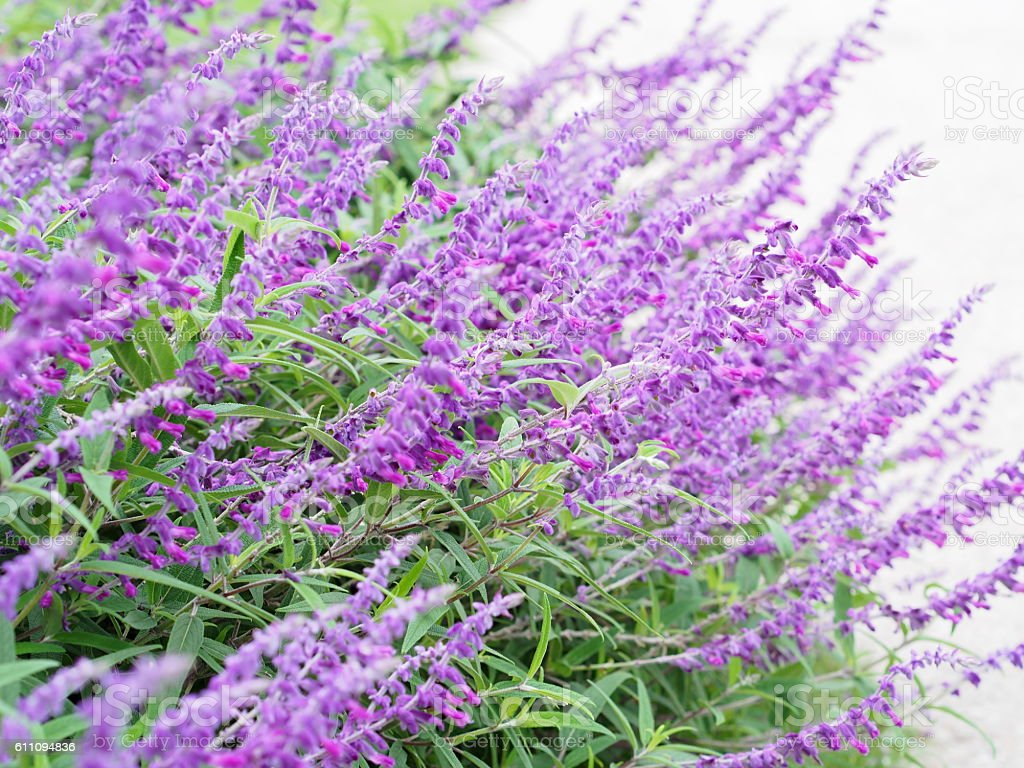 Salvia Amatista - foto de stock