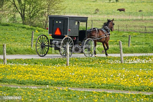 An Amish Buggy passes a field filled with dandelions. This is rural Indiana.