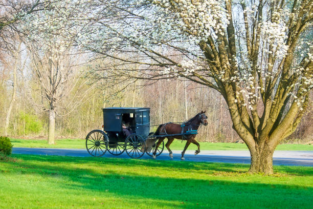 amish buggy and flowering tree - cocchio foto e immagini stock
