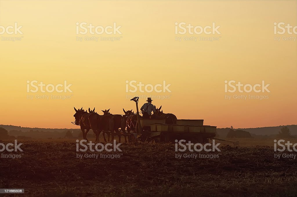 Amish Farmer Planting Corn at Sunset stock photo