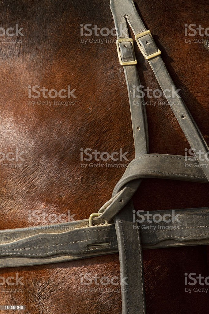 Amish Horse American Standard Bread With Leather Harness Close-Up stock photo
