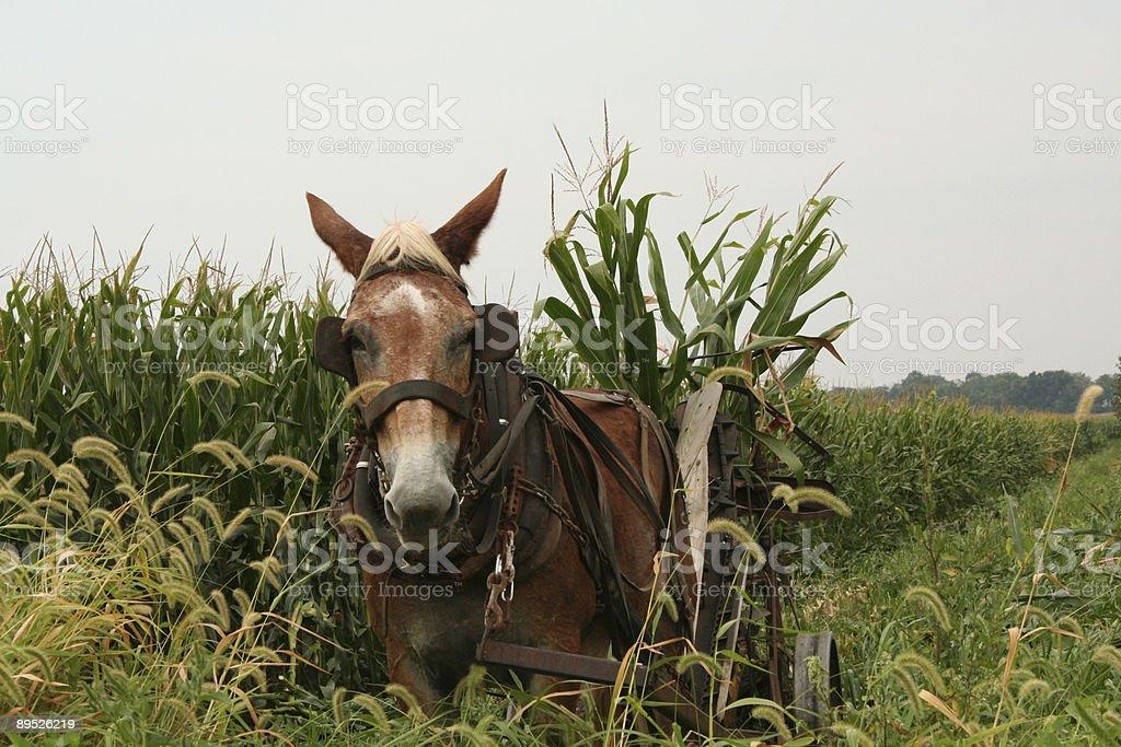 Amish Horse Harvesting Corn Stalks Lancaster County Pennsylvania royalty-free stock photo