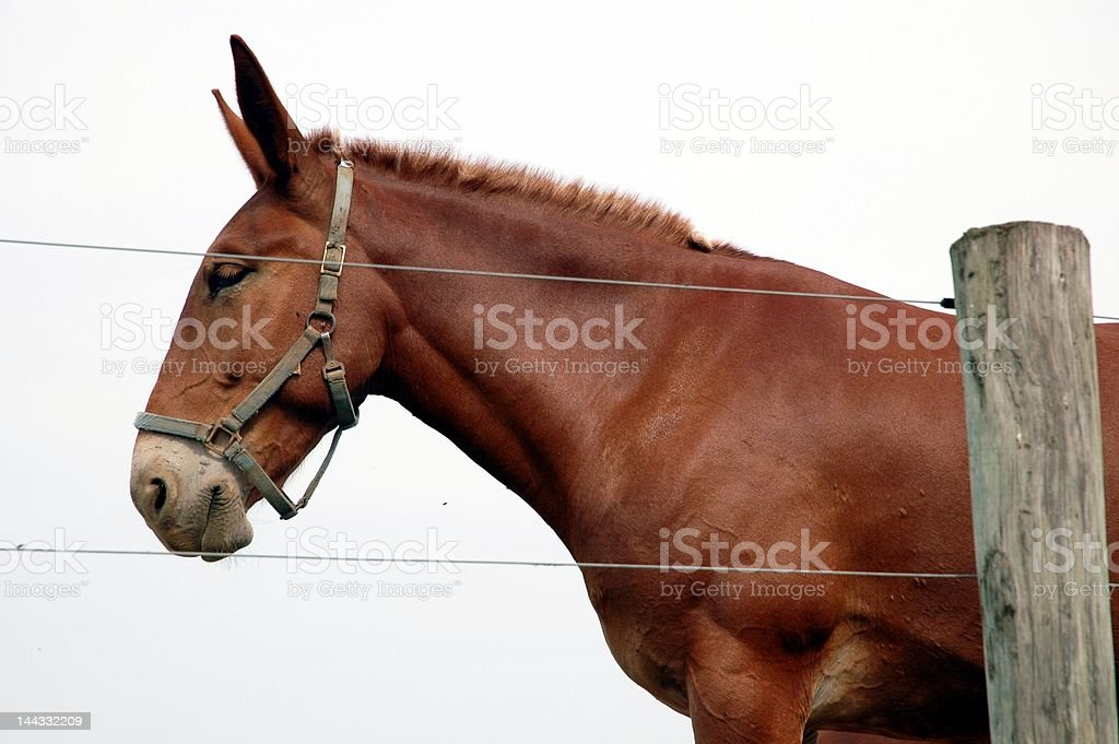 Amish Mule royalty-free stock photo