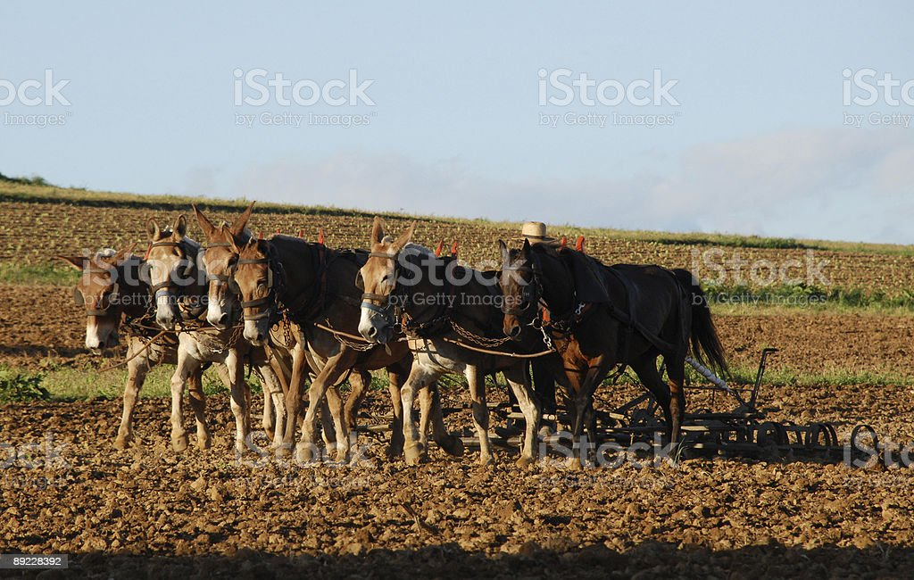 Amish plow team royalty-free stock photo