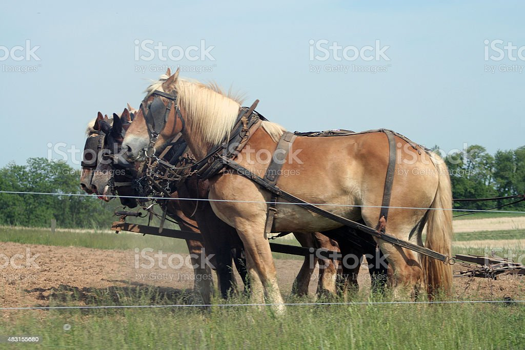 Amish Work Horses stock photo