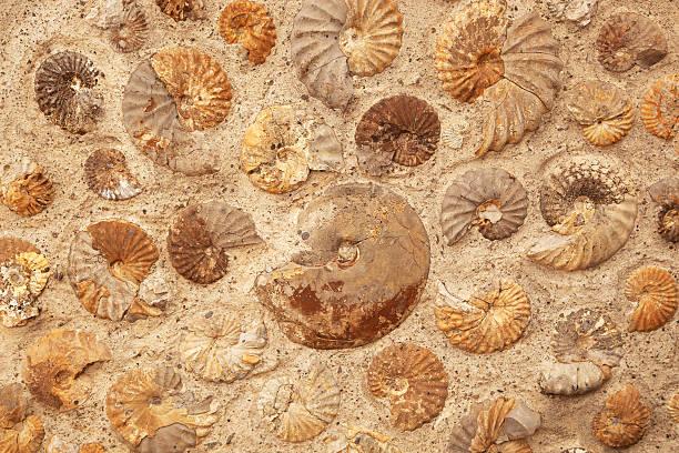 Fosili - Page 8 Ammonite-background-picture-id503763380?k=20&m=503763380&s=612x612&w=0&h=X5FlAyfxg9wuCa21V6DF0aRkv47oIjk8CXfRBr_7TFQ=