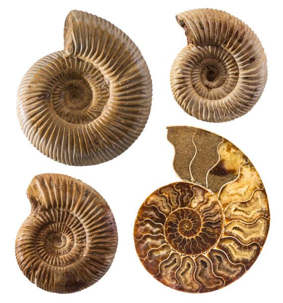 Ammonit Fossiliensammlung isoliert auf weiss. – Foto
