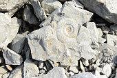Ammonite fossil in limestone