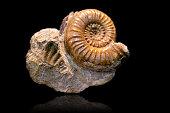 Ammonite fossil on black background
