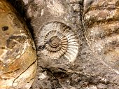 Close-up of an Ammonite fossil from the jura era. The image was captured in a former choalk mine in the canton of aargau.