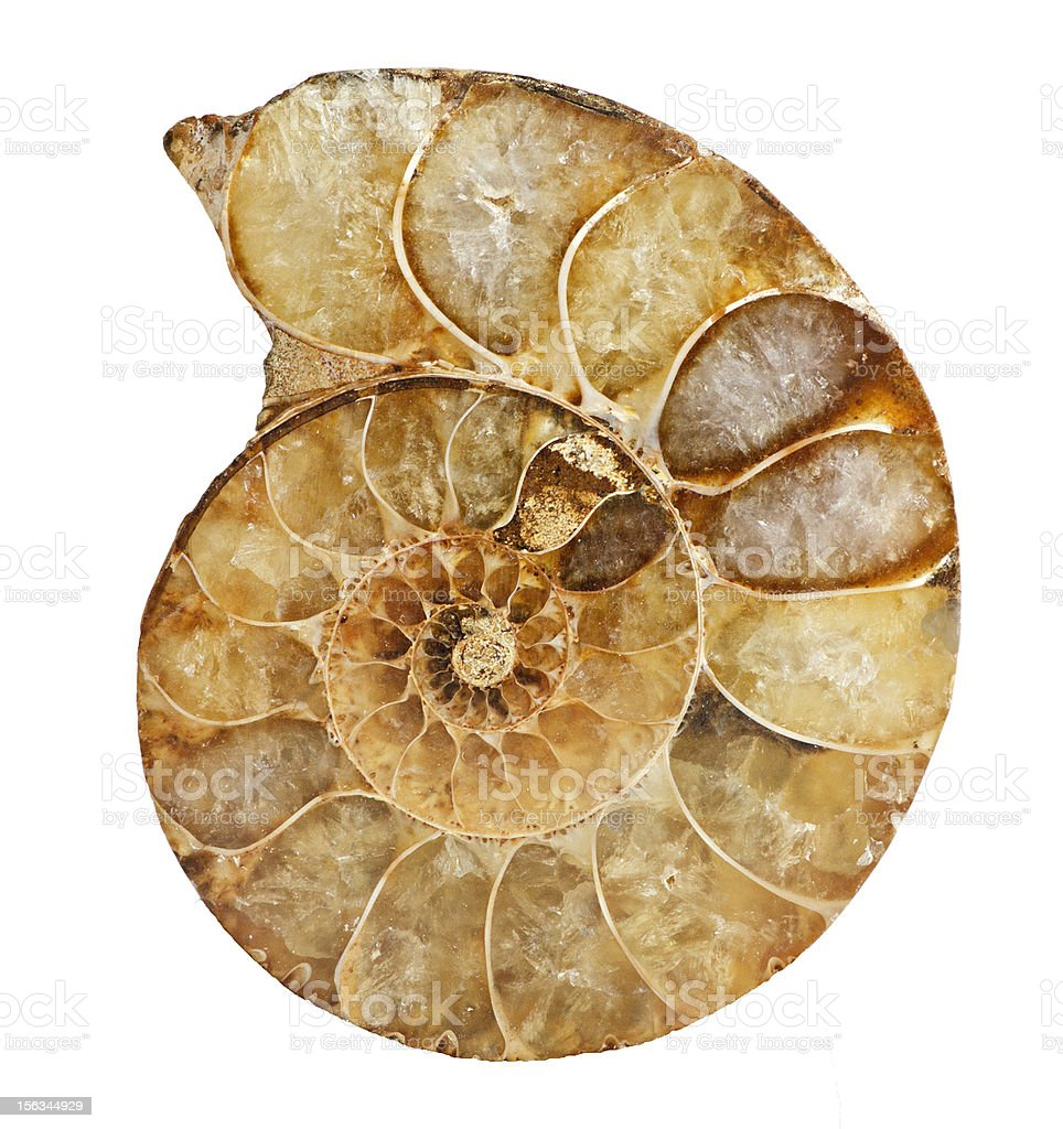 Ammonite fossil royalty-free stock photo