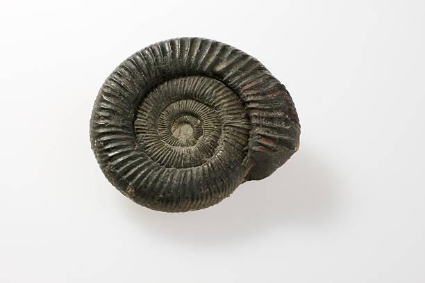 Ammonit fossil – Foto