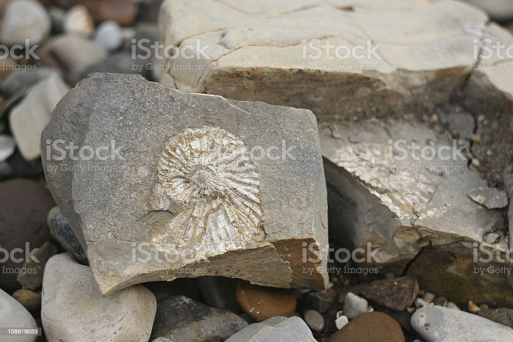 ammonite fossil surrounded stock photo