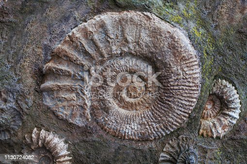 Ammonite fossils from the Jurassic. Archeology and paleontology background
