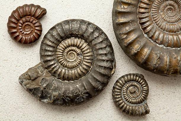 化石アンモナイト、ポートランドストーンバックグラウンド ストックフォト
