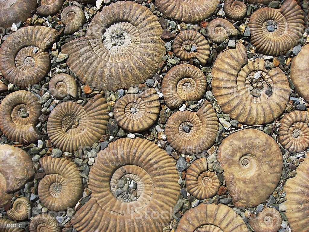 Ammonit Fossilien – Foto