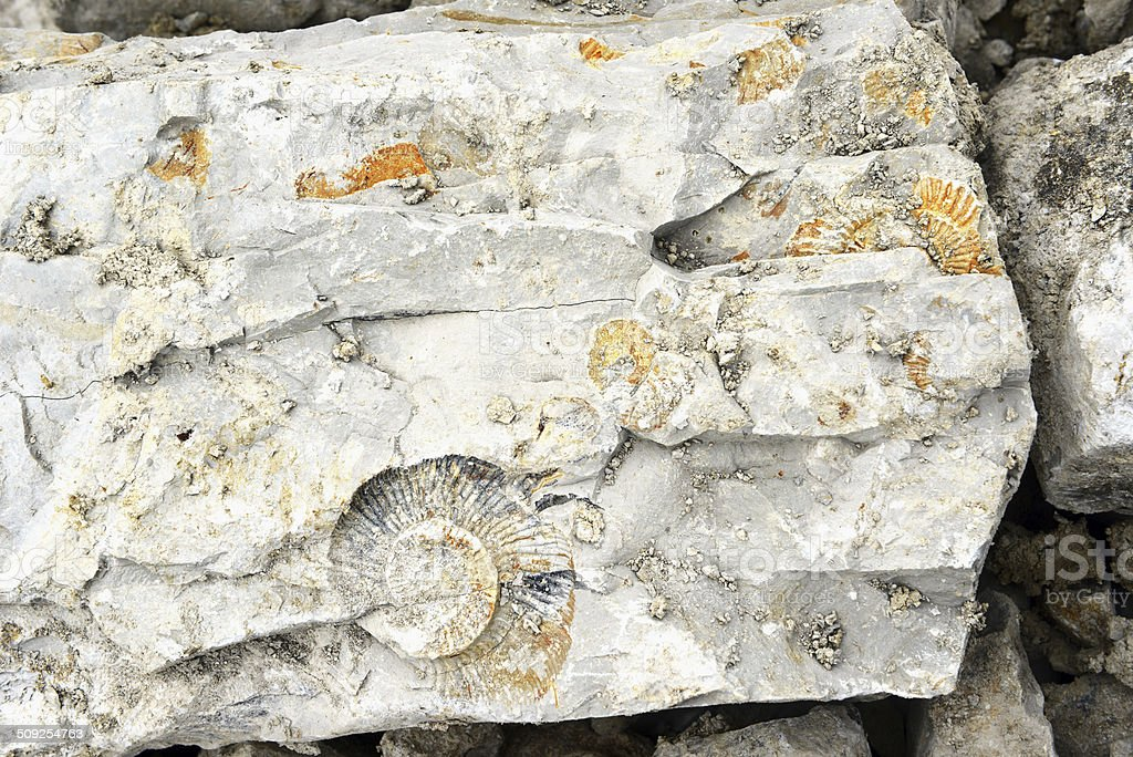 Ammonite in limestone rock stock photo