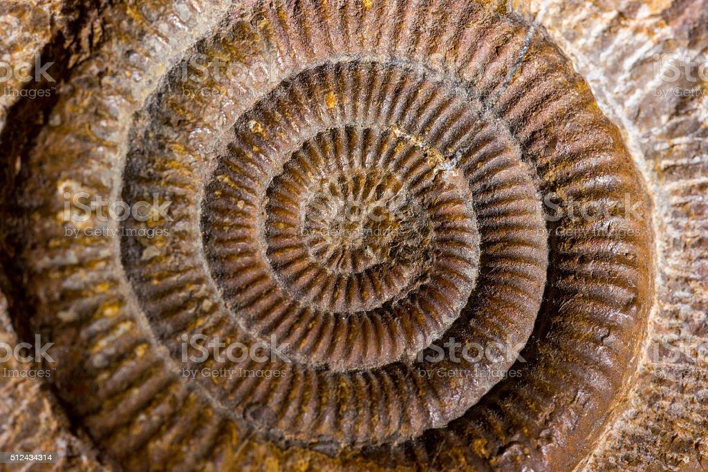 Ammonite macro stock photo