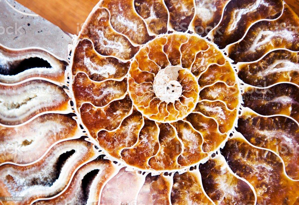 Ammonite stock photo