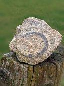 An ammonite fossil rock