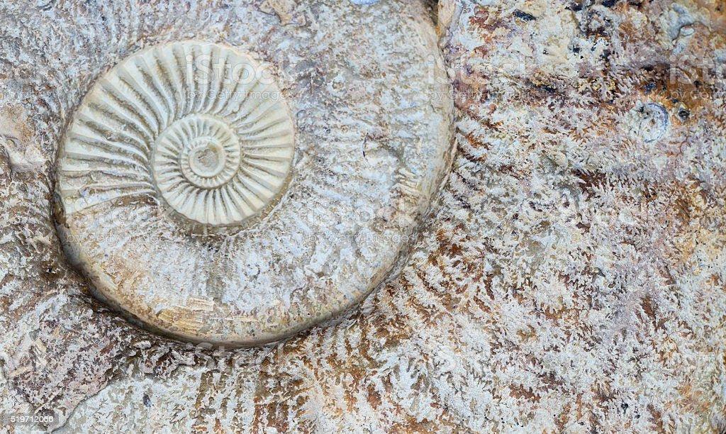 Ammonit Spiralmuster – Foto
