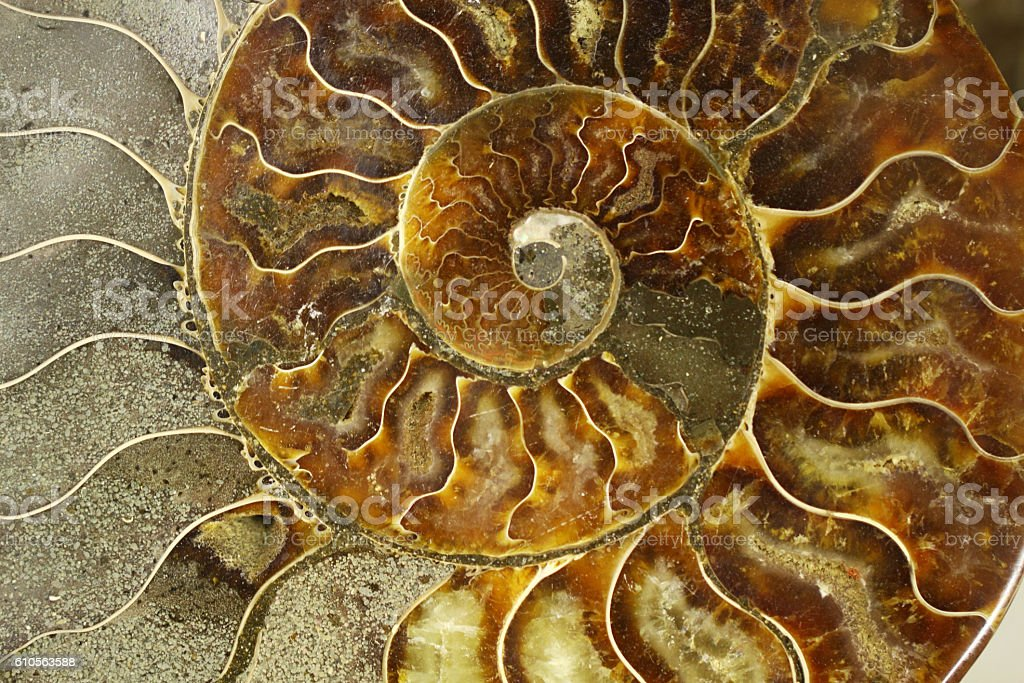 Ammonites are an extinct subclass of cuttlefish – Foto