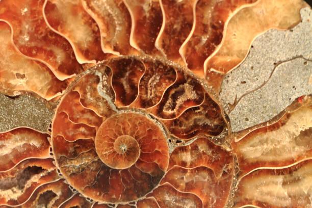 Ammoniten Fossil Hintergrund – Foto