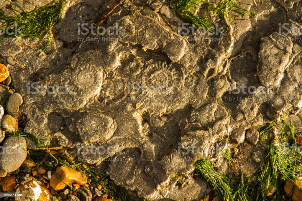 Ammonites in rock Bedrock by sea with remains of ammonites. Charmouth Beach, Dorset, England, United Kingdom Ammonite Stock Photo
