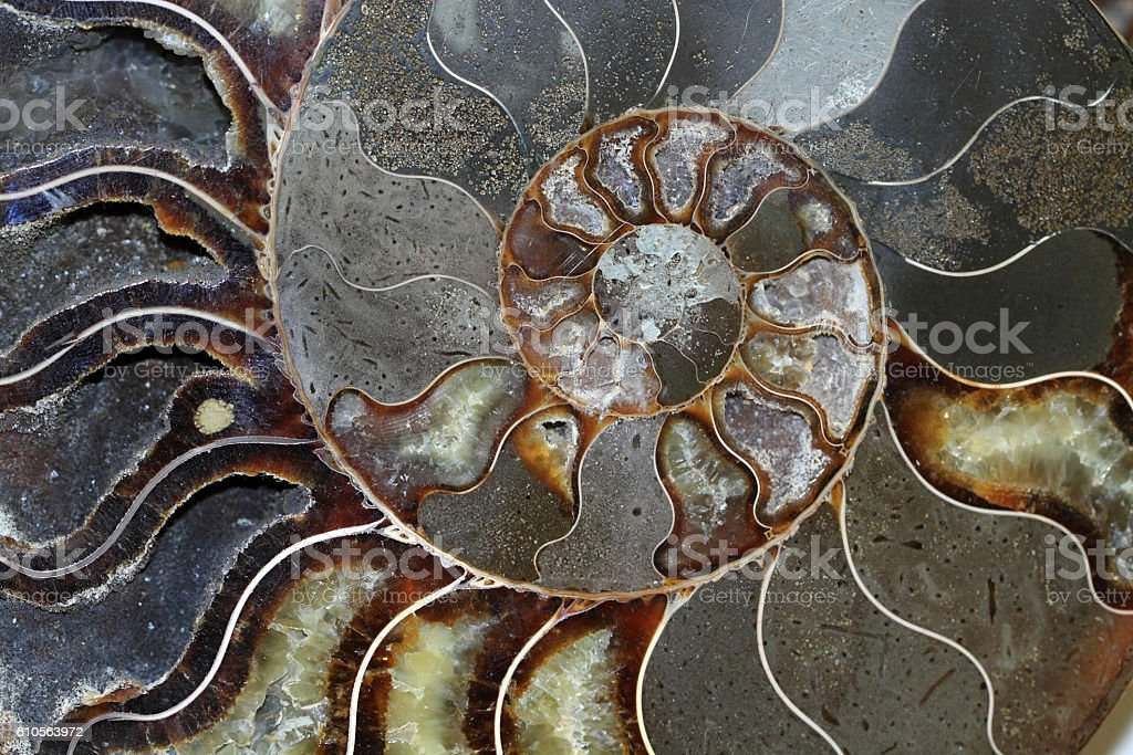 Ammonites occurred in hundreds of species and varieties stock photo