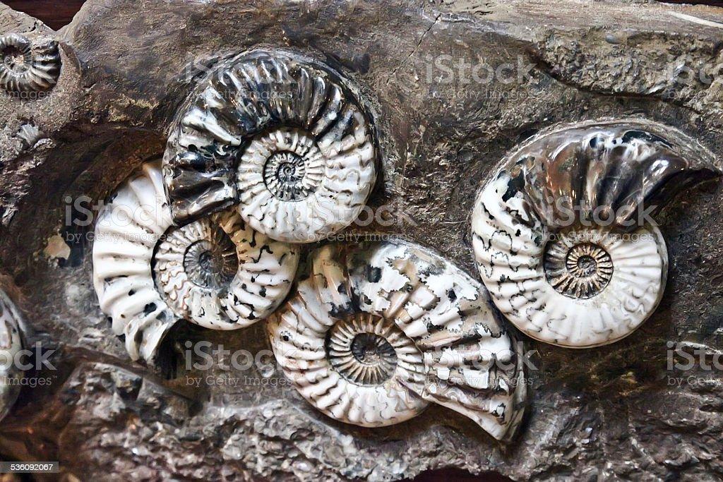 Ammonites – Foto