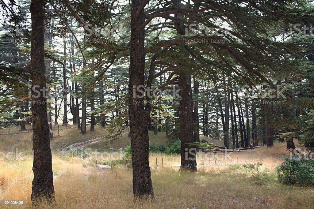 Among Cedar Trees stock photo