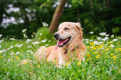 Golden retriever among flowers