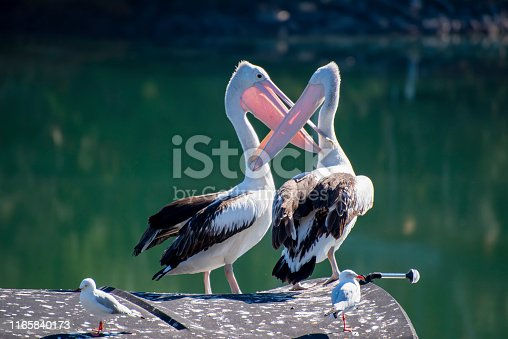 Amorous Australian Pelicans on a wharf at Urunga NSW.